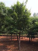 河南地区供应6-60公分五角枫