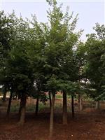 河南地區供應7-60公分五角楓