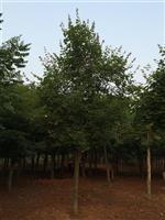 河南地区供应8-60公分五角枫