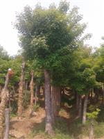 河南地区供应9-60公分五角枫