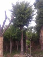 河南地区供应10-60公分五角枫