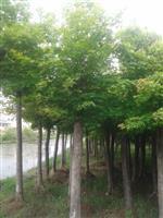 河南地区供应4-60公分五角枫