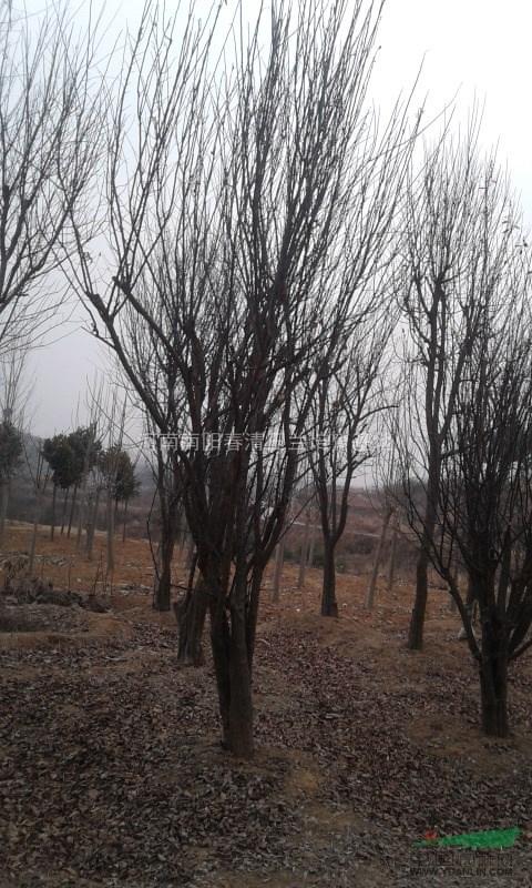 河南地区供应4-50公分木瓜