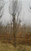河南地区供应6-50公分木瓜
