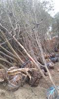河南地区供应8-50公分木瓜