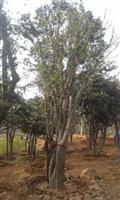 河南地区供应9-50公分木瓜