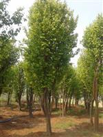 河南地区供应10-50公分木瓜