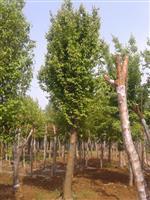 河南地区供应3-40公分木瓜
