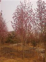 河南地区供应9-60公分红玉兰