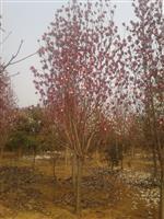 河南地区供应10-60公分红玉兰