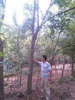 河南許昌鄢陵2到18公分的欒樹