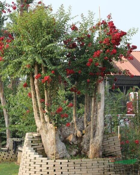 大规格红火箭紫薇精品大树;原生