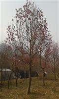 河南地区供应5-50公分紫玉兰