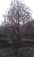 河南地区供应6-60公分紫玉兰