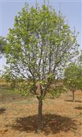 河南地区供应8-60公分紫玉兰