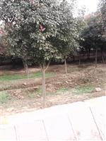 快乐赛车开奖红叶石楠球、独杆红叶石楠、本石楠、红叶石楠营养钵小苗