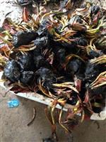 蚌埠大量供应睡莲,荷花,千屈菜,黄菖蒲,再力花,香蒲等等等。