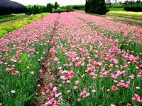 山东荷包牡丹厂家|青州石竹批发价格