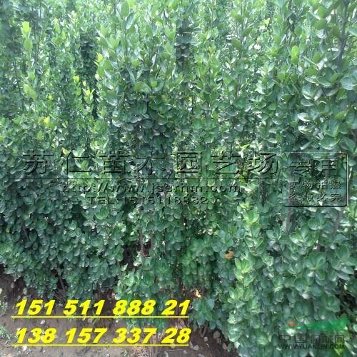 5米北海道黄杨绿篱价格
