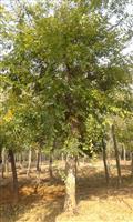 河南地区供应8-80公分朴树