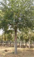 河南地区供应9-80公分朴树