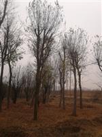 河南地区供应10-80公分朴树