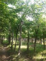 河南地区供应10-70公分朴树