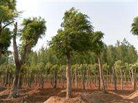 河南地区供应10-60公分朴树