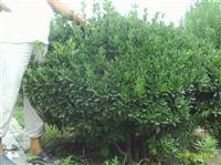 山西地区供应2米冬青球价格·2米大叶黄杨球价格供应·山西苗圃