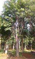 河南地区供应8-40公分巨紫荆