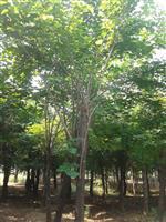 河南地区供应9-40公分巨紫荆