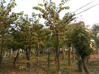河南地区供应10-40公分巨紫荆
