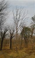 河南地區供應6-50公分七葉樹