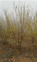 河南地区供应5-40公分山茱萸