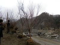 河南地区供应4-40公分山茱萸