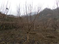 河南地区供应3-40公分山茱萸