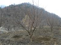 河南地区供应7-40公分山茱萸