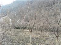 河南地区供应8-40公分山茱萸