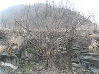 河南地区供应9-40公分山茱萸
