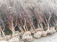 河南地区供应10-40公分山茱萸