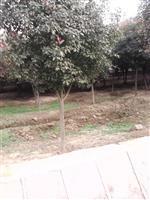 红叶石楠,红叶石楠球,红叶石楠树