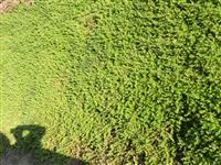 垂盆草是代替草坪以及屋顶绿化*好的品种