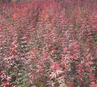 大量供应樱花,垂丝海棠,西俯海棠,茶花,红枫,花梅等小苗