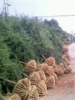 雪松苗木價格,雪松樹苗,雪松價格報價