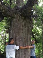 山西地区供应胸径50-150公分大槐树・千年古树价格