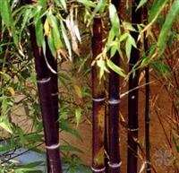 高2-5米紫竹报价、黑竹价格、红竹价格、紫竹价格、紫竹售价表