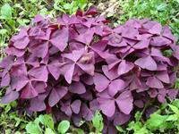 潢川常绿草花紫叶酢浆草售价、紫叶酢浆草价格、紫叶酢浆草报价表