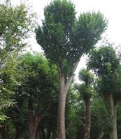 径1-40公分风景树香椿售价、香椿报价、香椿定价、香椿报价表