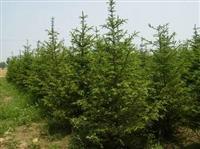 径1-40公分风景树柳杉售价、柳杉报价、柳杉定价、柳杉报价表