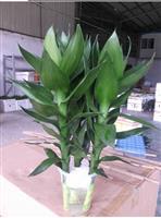 批发办公室小盆栽观音竹 室内花 水培植物批发 净化空气水培竹